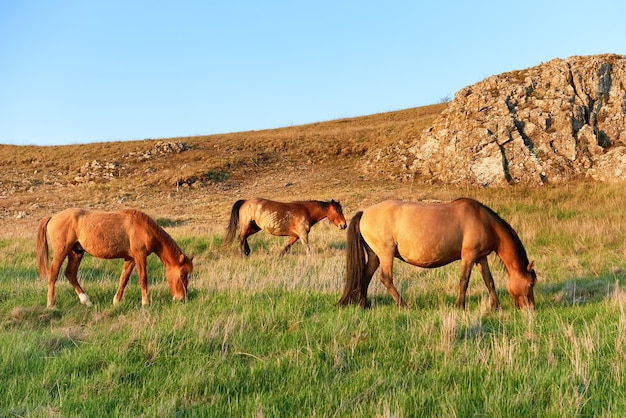 Troupeau de chevaux de pâturage sauvage sur le terrain avec de l'herbe verte