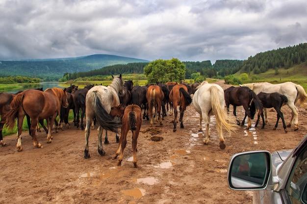 Troupeau de chevaux sur la route
