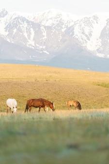 Un troupeau de chevaux sauvages broute dans les montagnes