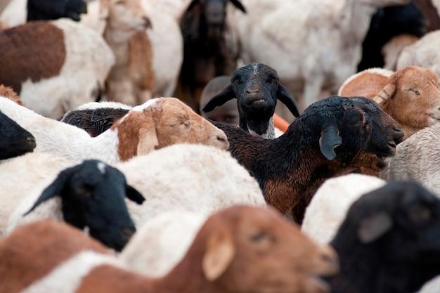 Troupeau de chèvres au kenya