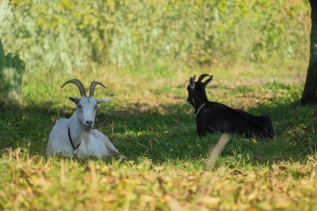 Troupeau de chèvres de ferme, de chèvres noires et blanches sur le terrain