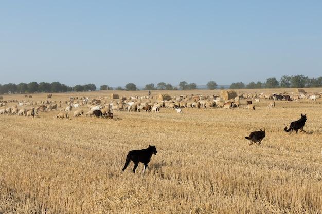 Un troupeau de chèvres paissent sur un champ fauché après la récolte du blé. grosses balles rondes de piles.