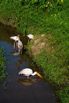 Un troupeau de cigognes de lait chasse dans un étang. vous cherchez du poisson.