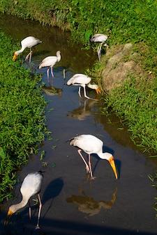 Un troupeau de cigognes de lait chasse dans un étang. vous cherchez du poisson