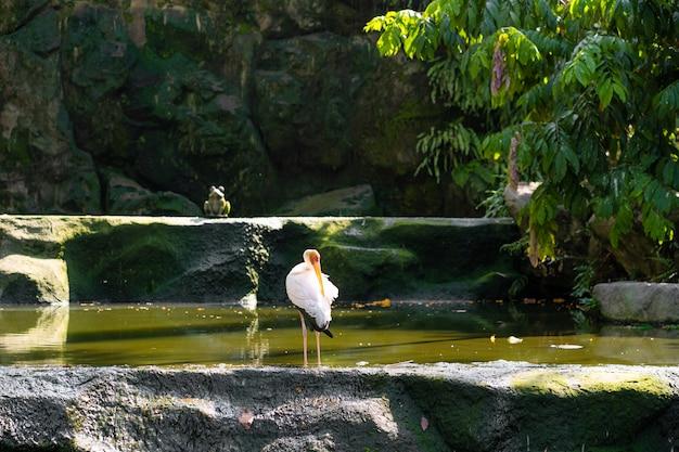 Un troupeau de cigognes de lait chasse dans un étang.