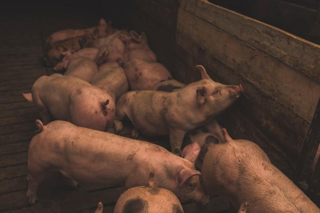 Troupeau de cochons en enclos