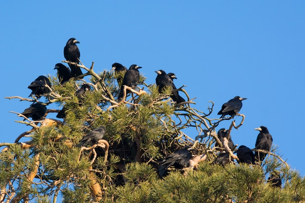 Un troupeau de corbeaux sur pin