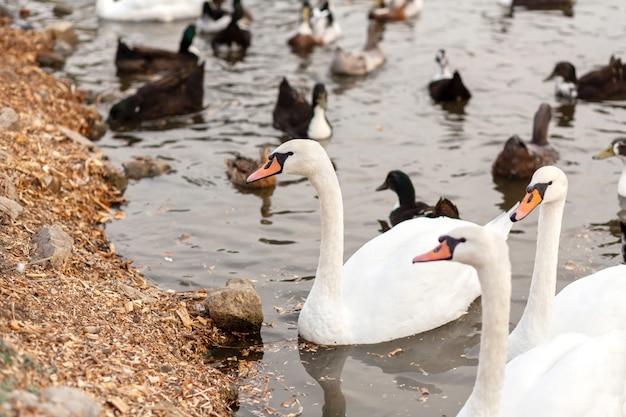 Un troupeau de cygnes et de canards dans un lac de baignade dans un parc de la ville
