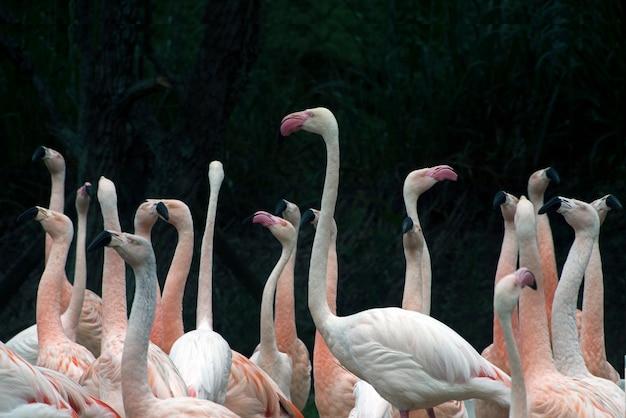Troupeau de flamants roses chiliens au zoo