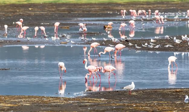 Troupeau de flamants roses dans l'eau. nakuru, kenya