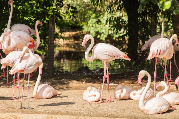Troupeau de flamants roses, joli gros oiseau rose, animal dans l'habitat naturel