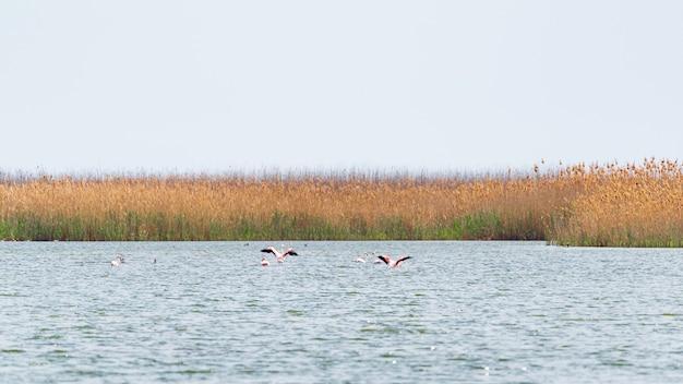 Troupeau de flamants roses sur le lac