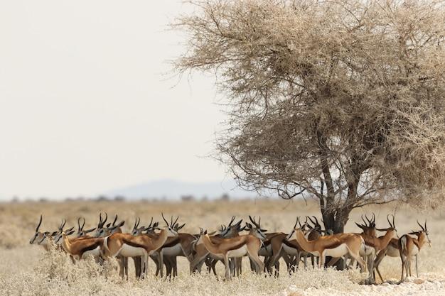 Troupeau de gazelles reposant sous un arbre séché dans un paysage de savane