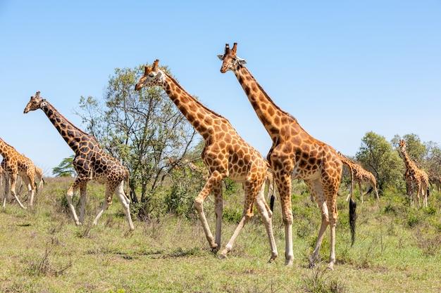 Troupeau de girafes en savane