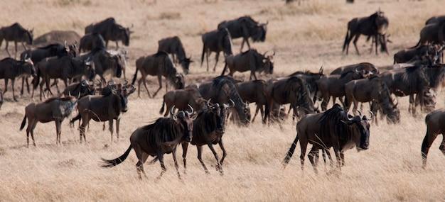 Troupeau de gnous au kenya