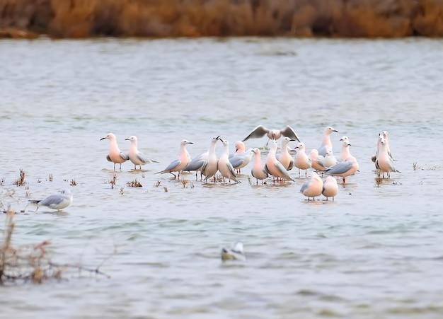 Un troupeau de goélands à bec grêle en plumage nuptial se reposent en eau peu profonde