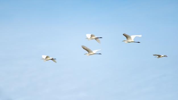 Un troupeau de grandes aigrettes volant avec un ciel bleu.