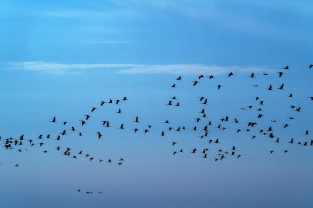Un troupeau de grues survole le champ à la recherche de nourriture dans les derniers jours avant de partir pour des climats plus chauds.