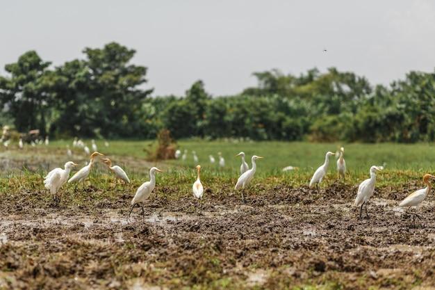 Un troupeau de hérons blancs sur un champ fraîchement labouré à la recherche de vers, de coléoptères et de grenouilles.