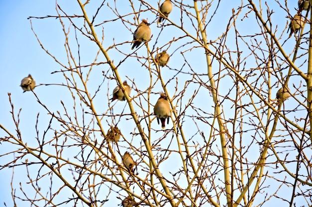 Un troupeau de jaseurs de bohême (bombycilla garrulus) sur les branches de peuplier, éclairé par un soleil de printemps contre le ciel bleu