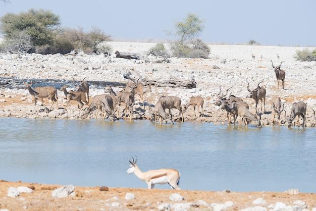 Troupeau de kudu buvant au point d'eau d'okaukuejo. wildlife safari dans le parc national d'etosha, destination de voyage majestueuse en namibie, en afrique.