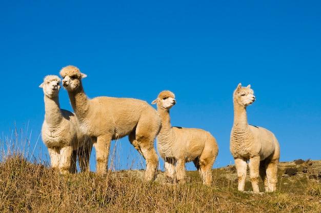 Troupeau de lamas dans le désert.