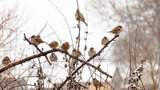Un troupeau de moineaux est assis sur les branches sèches d'un arbre en hiver par temps de gel. oiseaux en hiver