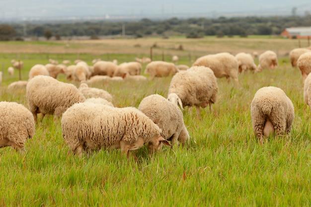 Troupeau, mouton, pâturage, dans, a, pré