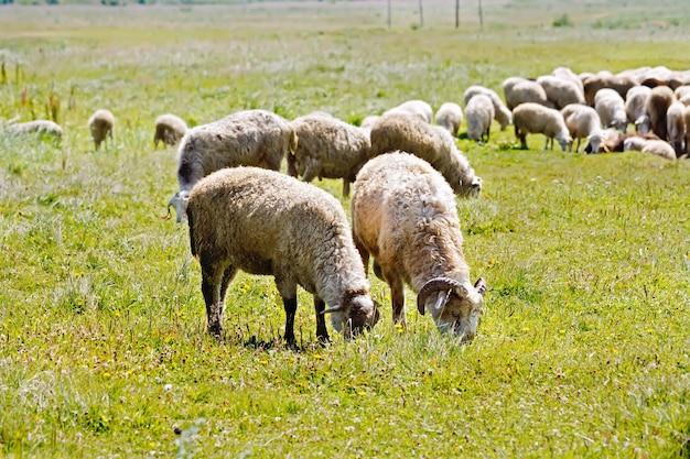Un troupeau de moutons blancs sur un pré vert