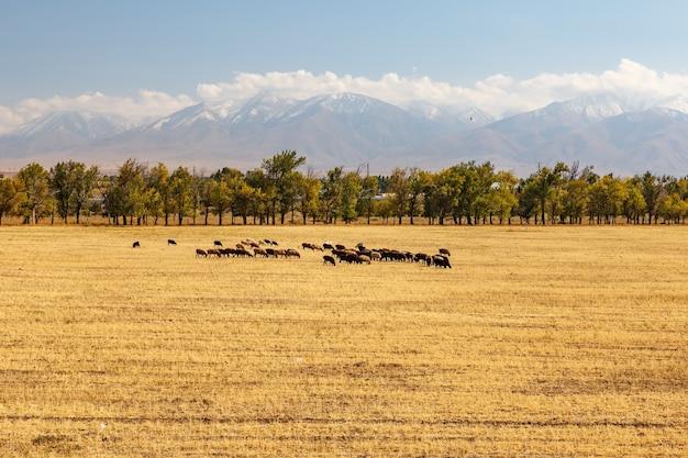 Un troupeau de moutons broute sur un champ moissonné sur fond de montagnes. kazakhstan