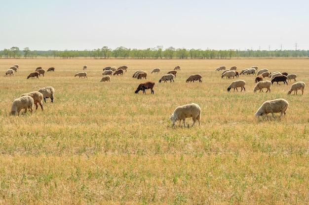 Un troupeau de moutons broute dans la steppe sèche. journée d'été chaude et ensoleillée.