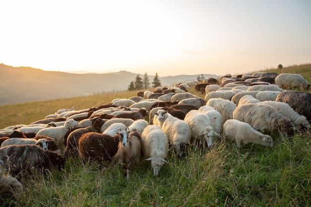 Un troupeau de moutons sur une colline dans les rayons du coucher du soleil.