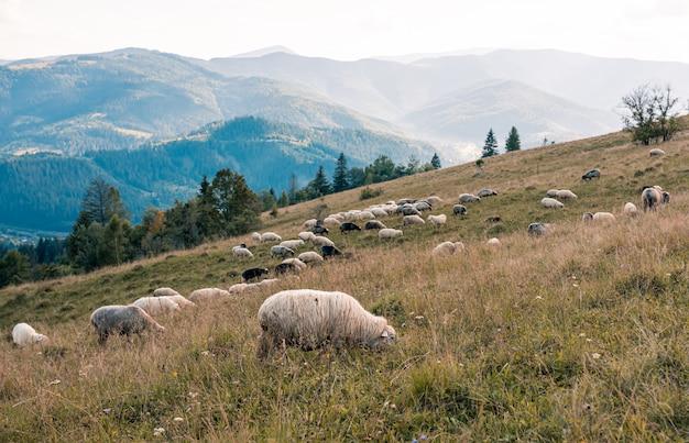 Troupeau de moutons dans les montagnes sur le fond de coucher de soleil