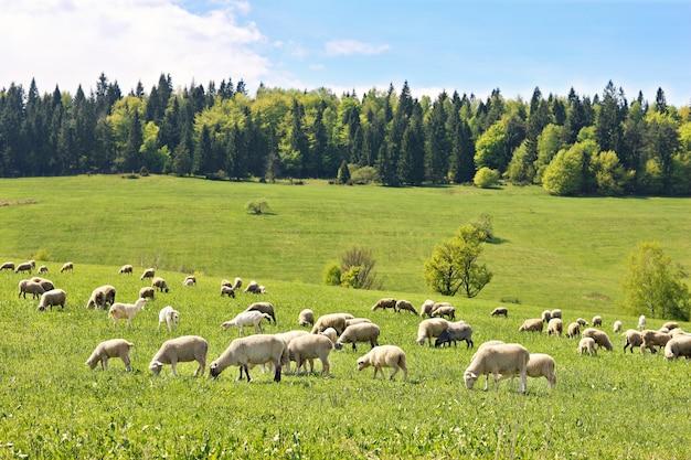 Un troupeau de moutons dans les montagnes polonaises