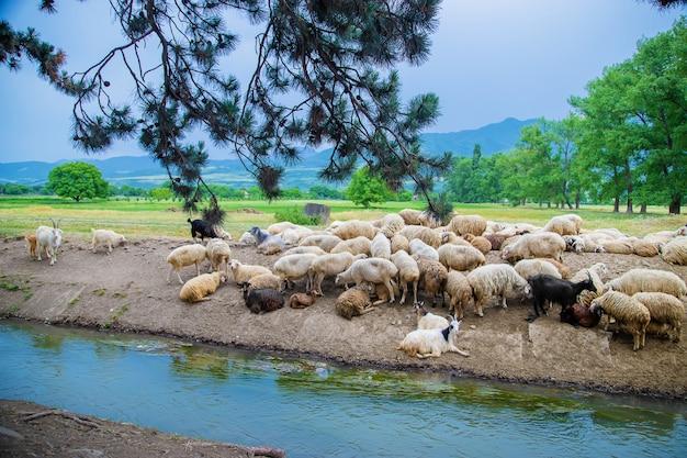 Troupeau de moutons dans les montagnes. voyage en géorgie.