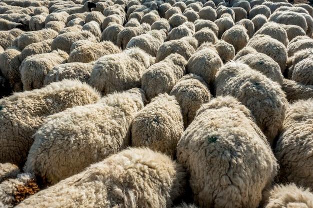 Un troupeau de moutons en inde