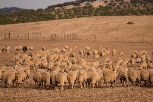 Troupeau de moutons sur la nature