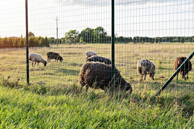Troupeau de moutons paissant sur les champs agricoles au coucher du soleil vert pâturage avec des moutons à la campagne