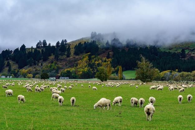 Troupeau de moutons paissant dans le domaine avec paysage de montagne brumeuse, île du sud de la nouvelle-zélande