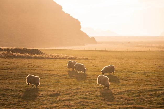 Troupeau de moutons paissant dans la matinée, islande
