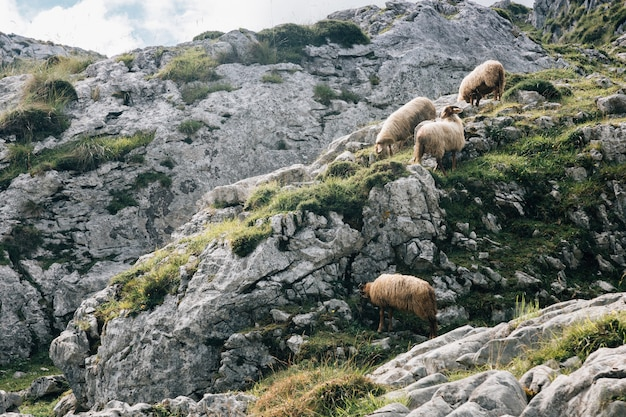 Troupeau de moutons paissant dans les montagnes