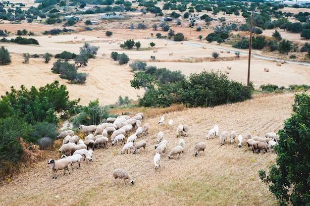 Troupeau de moutons paissant dans un pré