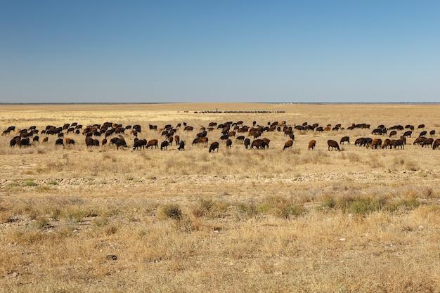 Troupeau de moutons paissant dans les steppes du kazakhstan.