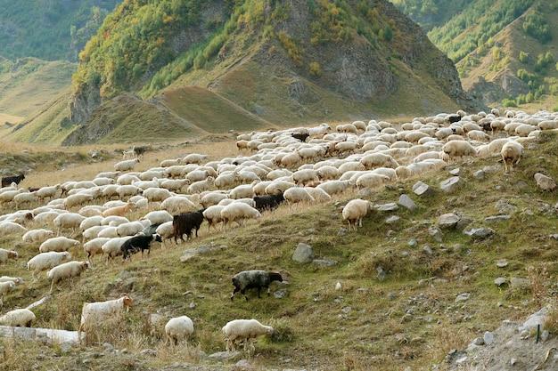 Troupeau de moutons paissant sur la pente de la montagne du caucase en géorgie