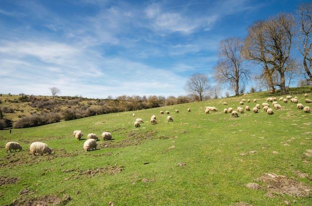 Troupeau de moutons paissant sur prairie de montagne