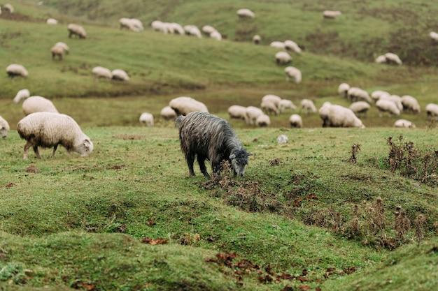 Troupeau de moutons paissant sur des prairies verdoyantes dans les montagnes du caucase