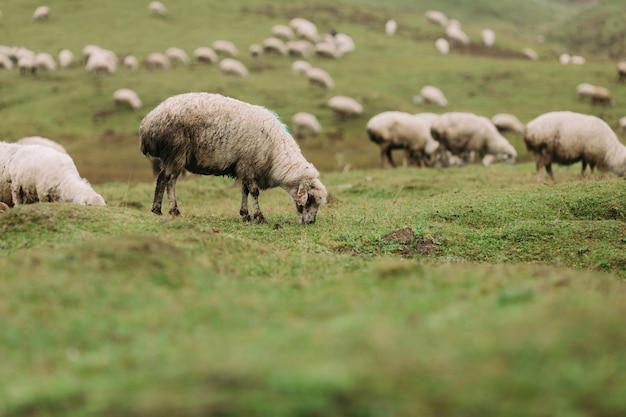 Troupeau de moutons paissant sur des prairies vertes dans les montagnes du caucase en jour de brouillard