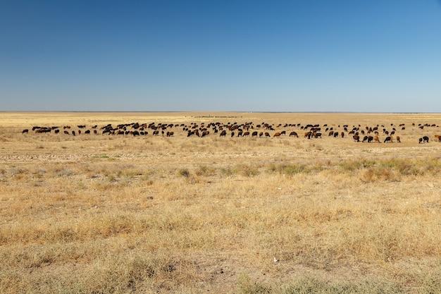 Troupeau de moutons sur un pâturage dans la steppe du kazakhstan