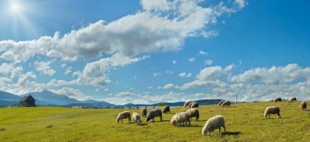 Troupeau de moutons sur les pâturages du plateau de montagne (montagne des carpates, ukraine). dans la direction opposée du soleil.
