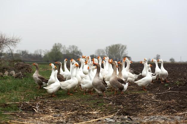 Un troupeau d'oies blanches marchent au printemps dans le village dans la prairie avec de l'herbe verte fraîche et des terres labourées